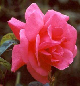 pink-garden-roses